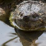 Best Fauna: Snapping turtle, Crabtree Nature Center near Barrington, Edward Boe