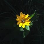 Best Flora: Sunflower hosting bee, Eggers Woods near Chicago, Jaharha Pryor