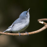 2016 Photo Contest Winner Best Fauna - Blue Grey Gnatcatcher, Busse Woods, Janet Haugen