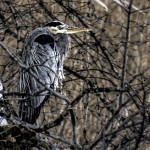Runner Up: Blue Heron with icles on its chest, Busse Woods near Elk Grove Village, Wesley Iversen