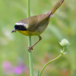 Runner Up: Common Yellowthroat on Rattlesnake Master with snack, Somme Nature Preserve near Northbrook, Lisa Culp
