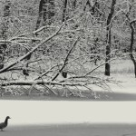 Runner Up: Duck in snow on pond, Trailside Museum near River Forest, Fidencio Marbella