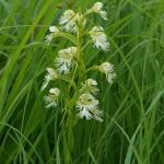 Runner Up:- Eastern Prairie Fringed Orchid, Linne Prairie near Morton Grove, Chris Benda