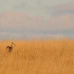 Second Place: White-tailed deer among Indian grass, Orland Grassland near Orland Park, Jeanne Muellner