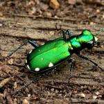 Third Place: Six spotted tiger beetle, Bluff Spring Fen near Elgin, Doug Taron