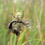 Runner Up: Cathy Bloome, orb weaver with dragonfly, Schiller Woods near Schiller Park