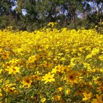 Sunflowers at Wolf Road Prairie by E.J. Neafsey of Western Springs