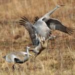 First Place: Sandhill Cranes, Somme Prairie Grove, near Northbrook, Lisa Culp