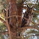 Second place: Long-eared owls, Bartel Grasslands near Matteson, Joe Occhiuzzo