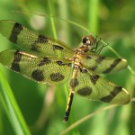 Best Fauna – Halloween Pennant Dragonfly at Somme Prairie Grove by Lisa Culp of Evanston