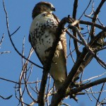 Redtail Hawk at Somme Prairie Grove by Lisa Culp of Evanston