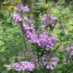 Obedient Plant at Somme Prairie Grove by Lisa Culp of Evanston