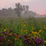 Iron Weed and Grayheaded Coneflower, Theodore Stone, near Hodgkins, Robert Callebert