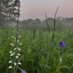 White Wild Indigo and Spiderwort, Powderhorn Prairie Nature Preserve, near Chicago, Robert Callebert