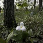 Best flora: White trillium, Thatcher Woods near River Forest, Donna Villa