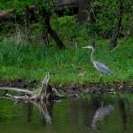 Blue Heron in Busse Lake, Ned Brown Preserve, near Elk Grove Village, Bob Kuraszek