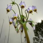Best Flora: Shooting Star, Powderhorn Prairie Nature Preserve, near Chicago, Laura Milkert