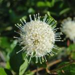 Best Flora: Kevin Wolz, buttonbush, Hidden Pond near Hickory Hills