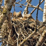 Great Horned Owlets, Somme Nature Preserve, near Northbrook, Lisa Culp