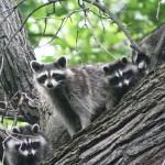 Best Fauna: Biran Czarnik, raccoons, Salt Creek Trail near LaGrange Park