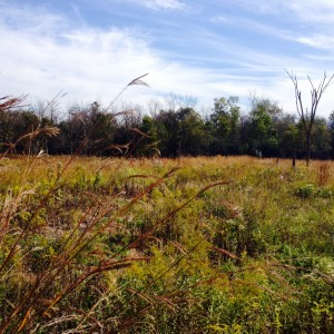 The restored prairie at Kickapoo Woods.