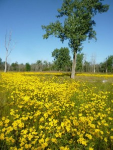 Swamp Marigold at Kickapoo: Removing invasive plants helps native plants thrive.