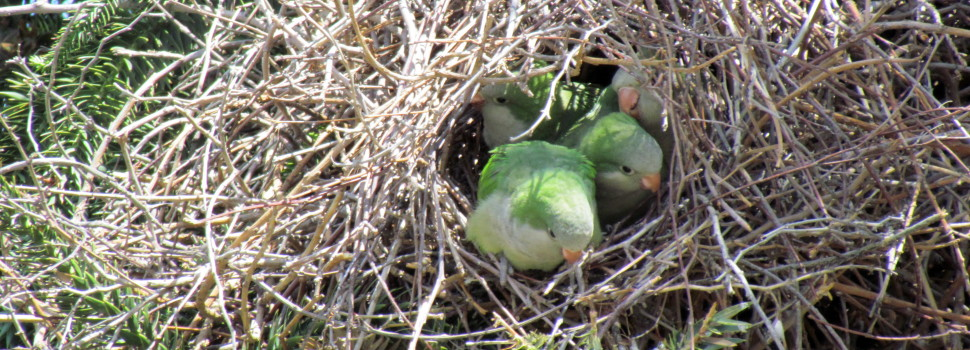 The Monk Parakeet has invaded Cook County, but it is beloved by many.