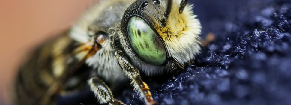 2015 Photo Contest Winner Best Fauna-Bee, Chicago Botanic Garden near Glencoe, Edward Boe