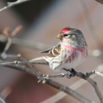 2015 Photo Contest Runner-up- Common Redpoll, Chicago Botanic Garden near Glencoe, Janet Haugen