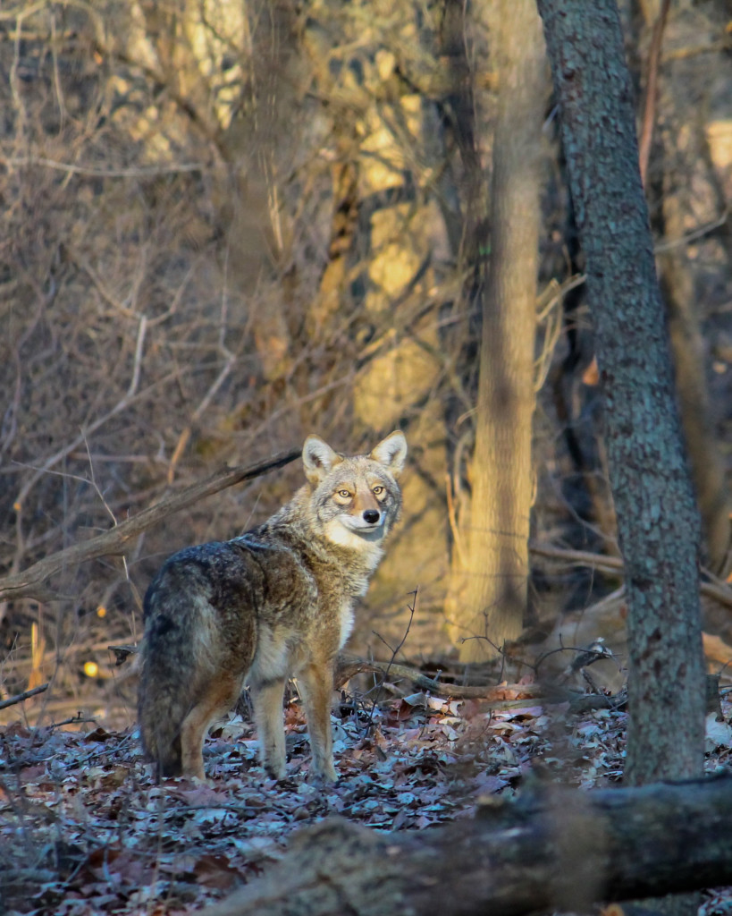 2015 Photo Contest Winner First Place- Coyote, LaBagh Woods near Chicago, Steven Bayer