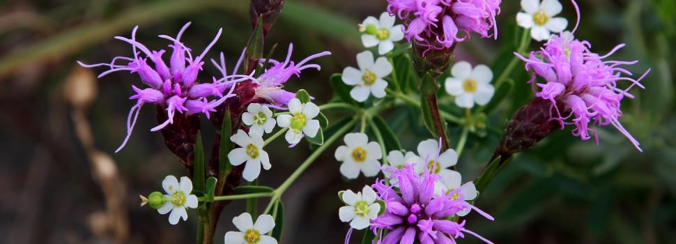 2015 Photo Contest Winner Best Flora- Cylindrical Blazing Star and Flowering Spurge, Shoe Factory Road Prairie near Hoffman Estates, Bob Callebert