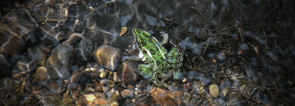 2015 Photo Contest Winner Third Place- Leopard Frog underwater, Bluff Spring Fen near Elgin, Tina Onderdonk