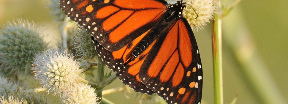 2015 Photo Contest Runner-up- Monarch butterfly on Rattlesnake Master, Orland Grassland near Orland Park, Jeanne Muellner